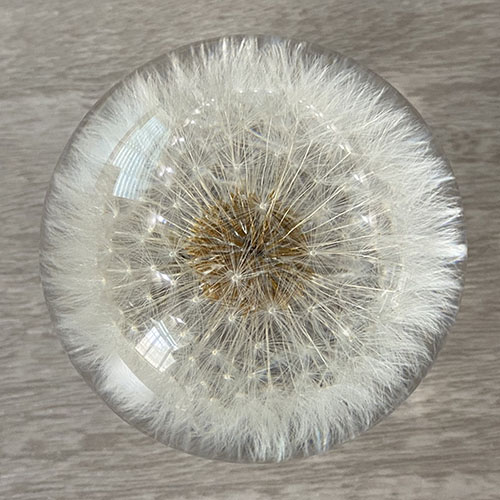 Real dandelion paperweight top view